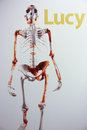 Skeleton of lucy a female australopithecus Stock Photography