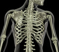 Skeleton showing close up of rib cage Stock Photography