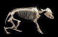 Skeleton of tapir isolated over black background Royalty Free Stock Photo