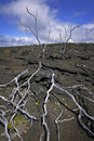 Skeleton Trees, Lava Field, Hawaii Royalty Free Stock Photography