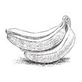 Sketch banana group vector illustration Royalty Free Stock Images