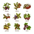 Sketch berries colored set natural organic of rowan gooseberry currant isolated vector illustration Stock Image
