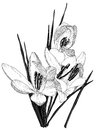 Sketch of blooming crocus flowers