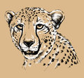 Sketch of a Cheetah's face Royalty Free Stock Photo