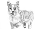 Sketch dog corgi run by pen illustration on paper Stock Images