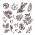 Sketch fir branches. Acorns and pine cones. Christmas, winter and autumn forest elements. Hand drawn vintage vector