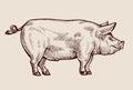 Sketch pig. Hand-drawn vector illustration Royalty Free Stock Photo