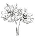 Sketch of tulips on a white background Royalty Free Stock Photo