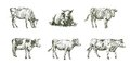 Sketches of cows drawn by hand. livestock. cattle. animal grazing Royalty Free Stock Photo