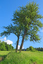 Skew tree in the field Royalty Free Stock Photo