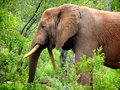Skew tusk elephant an of the kruger national park south africa with a Royalty Free Stock Image