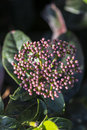 Skimmia japonica a close up of plant Royalty Free Stock Images