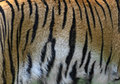 Skin amur tiger in the summer Stock Image