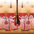 Skin Anatomy Royalty Free Stock Photo