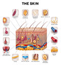 Skin anatomy detailed illustration beautiful bright colors Royalty Free Stock Photo