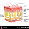 Skin anatomy easy to edit illustration of diagram Royalty Free Stock Images