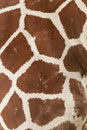 Skin of a giraffe Stock Image