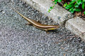 Skink in natural is a lizard that is rated as squamata snakes and lizards scincidae Royalty Free Stock Photo