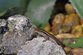 Skink is staying on the rock in the forest Royalty Free Stock Photos