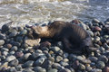 Skinny dying South American sea lion get out on rocks coast in Lima due to El Nino Royalty Free Stock Photo