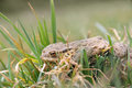 Skinny frog after winter hibernation a is crossing the field trying to reach the wetland over the street Royalty Free Stock Image