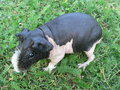 Skinny guinea pig in the grass photo taken on aug Royalty Free Stock Photo