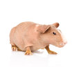 Skinny guinea pig looking away. isolated on white background