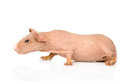 Skinny guinea pig lying in profile. isolated on white background