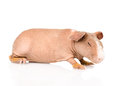 Skinny guinea pig lying in profile isolated on white background Royalty Free Stock Photography