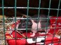 Skinny guinea pig Royalty Free Stock Photo