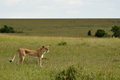 Skinny lioness a is overlooking the grasslands Stock Photography