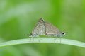 Skipper butterflies is mating on the grass leaf Royalty Free Stock Image