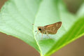 Skipper butterfly beautiful shot of on green leaf Stock Photos