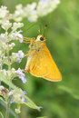 Skipper butterfly the close up of a yellow Stock Images