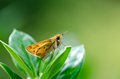 Skipper butterfly closeup of perched on top of a leaf in the garden copy space Royalty Free Stock Photography