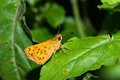 Skipper butterfly or on green leaf as its habitat the darting flight Stock Photos