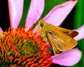 Skipper butterfly perched on a flower collecting pollen Stock Photos
