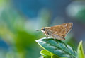 Skipper butterfly perched on leaf in the garden Stock Photos