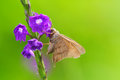 Skipper butterfly small on a purple flower Royalty Free Stock Photography