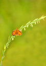 Skipper butterfly on a stalk of grass Royalty Free Stock Photography