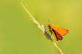 Skipper butterfly on a stalk of grass Royalty Free Stock Photo