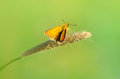 Skipper butterfly on a stalk of grass Stock Photo