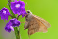 Skipper butterfly taking nectar from a berbena purple flower Stock Images