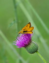 Skipper butterfly on thistle wildflower feeding wildflowers soft green background Stock Image