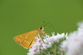 Skipper on a flower closeup picture of white name in japanese is hiyodori so Royalty Free Stock Photography