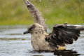 Skua bathing Stock Photos