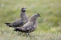 Skua couple Stock Image