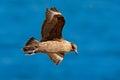 Skua Flight. Brown Skua, Catha...