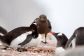 Skua and gentoo penguin fending off Stock Photography