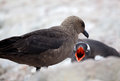 Skua and gentoo penguin fending off Royalty Free Stock Image